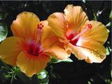 Hibiscus-160