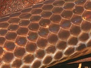 La Fleur de Vie Serpent-Peau-30
